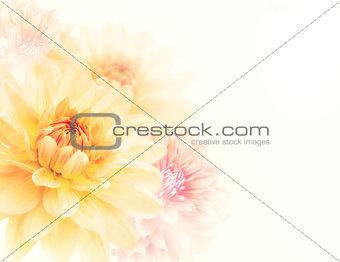 Dahlia Flowers Background