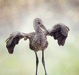 Young Limpkin Bird