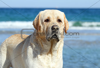 a cute yellow labrador portrait