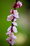 Blossom apricot tree springtime view