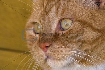 Cat, close up