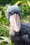 Shoebill (also known as whalehead or shoe-billed stork)