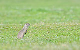prairie dog on field
