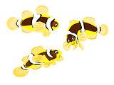 Clarkii Clown Fish