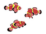 Maroon Clown Fish