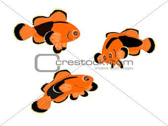 Red Saddle-back Clown Fish