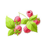 ripe raspberry illustration