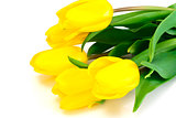 Beautiful Yellow tulips Isolated