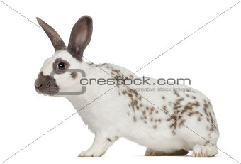 Black fire rabbit isolated on white
