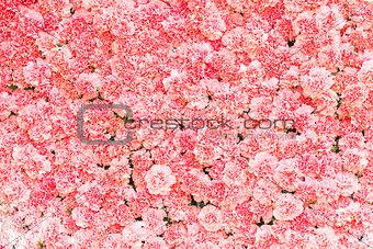 Beautiful pink carnation flower