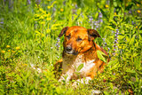 Young dog laying in the meadow grass