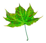 Multicolor maple-leaf