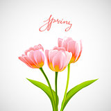 Flower tulip background.