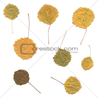 Autumn birch Betula, aspen or Populus tremula leaves