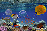 Tropical fish and Hard corals in the Red Sea,