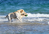 two labradors at the sea with a ball