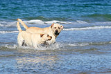 cute labradors at the sea with a ball