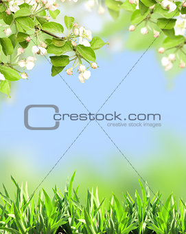 Apple flowers of white color and green grass