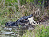 Large Florida Alligator Eating