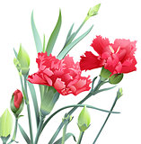 Bouquet of carnation flowers isolated on white background
