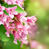 Flowers of pink weigela
