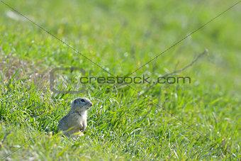 prairie dog on field