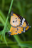 two big yellow butterfly breeding