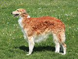 Typical Borzoi – Russian hunting Sighthound on a green grass l