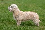 Typical Irish Glen Terrier  on a green grass lawn