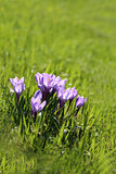 Photo of purple crocuses
