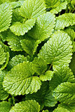 Lemon balm (balm, common balm, or balm mint)