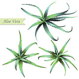 Set of aloe vera plants.