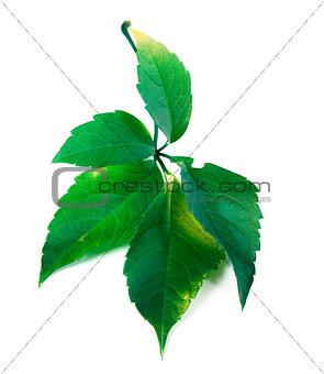 Green virginia creeper leaf