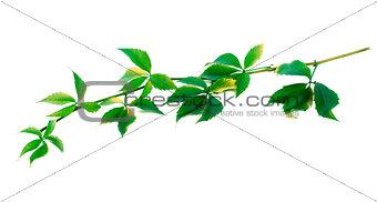 Green twig of grapes leaves (Parthenocissus quinquefolia foliage