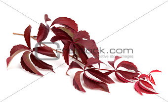 Branch of dark red autumn grapes leaves