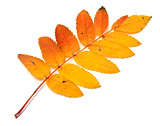 Autumnal yellowed rowan leaf on white background