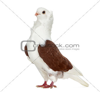 Old German Owl Pigeon isolated on white