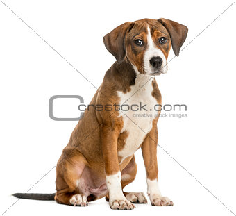 Crossbreed puppy sitting in front of a white background