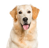 Close-up of a Golden Retriever in front of a white background