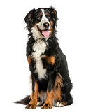 Bernese Mountain dog sitting in front of a white background