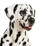 Close-up of a Dalmatian in front of a white background