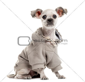 Crossbreed sitting and dressed in front of a white background