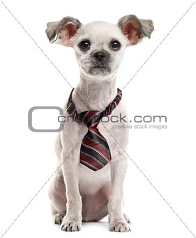 Crossbreed sitting and wearing a bow tie in front of a white bac