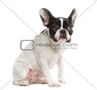 French Bulldog sitting in front of a white background