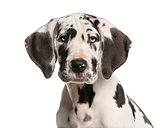 Close-up of a Great Dane puppy in front of a white background