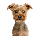 Close-up of a Yorkshire terrier in front of a white background