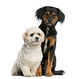Griffon and Shi tzu sitting in front of a white background