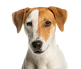 Close-up of a Jack Russell Terrier in front of a white backgroun