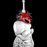 Human heart. 3d anatomical illustration. Clipping path