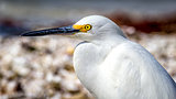 Egret Profile on Florida Beach, Color Image, Day